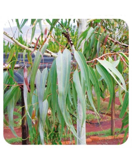 Eucalyptus citronné, Huile Essentielle de Pranarom
