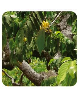 Ylang ylang extra huile essentielle de pranarom