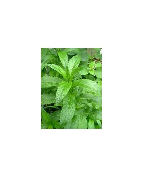 Menthe verte (Menthe Nana) Huile Essentielle de Pranarom