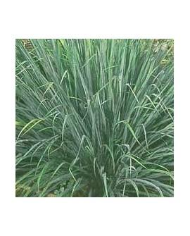 Lemongrass, Huile Essentielle de Pranarom