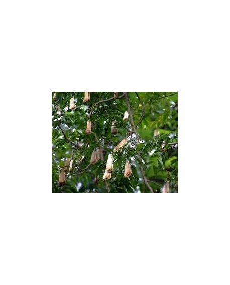 Baume du Pérou, Huile Essentielle de Pranarom