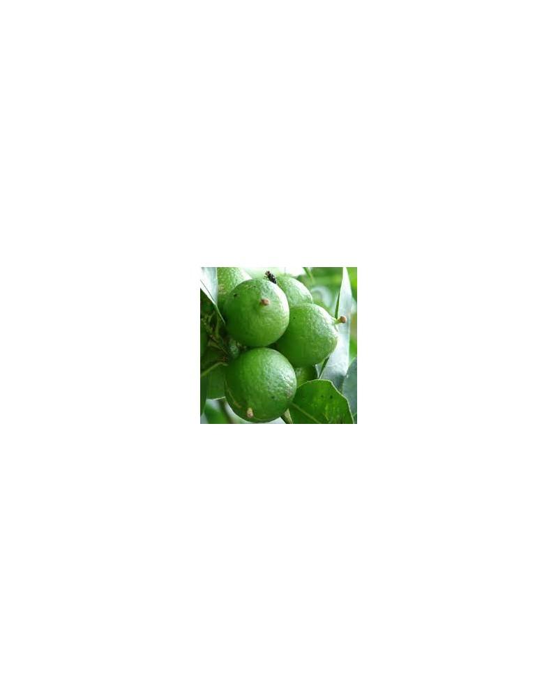 lime citron vert huile essentielle de pranarom. Black Bedroom Furniture Sets. Home Design Ideas