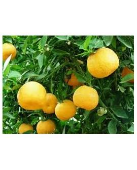 Oranger bigarade / Oranger amer Huile Essentielle de Pranarom