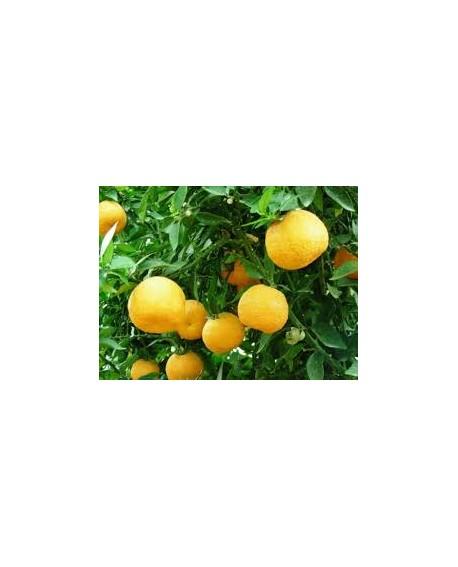 Oranger bigarade / amer Huile Essentielle de Pranarom
