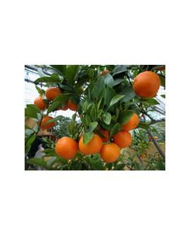 Petit Grain Mandarine Huile Essentielle de Pranarom