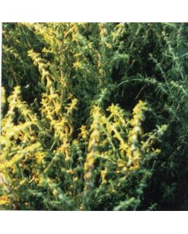 Menthe Bergamote (Citronnée) Huile Essentielle de Pranarom