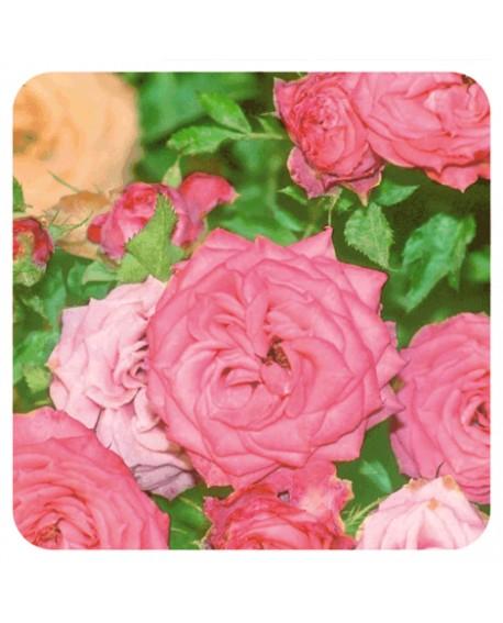 Rose de damas 5ml Huile Essentielle de Pranarom