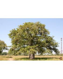 Baobab Huile Biologique